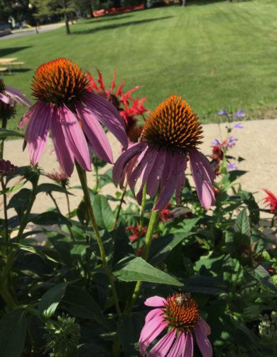 Lavender colored, Bright upright plants, coneflowers are a North American perennial in the Daisy family