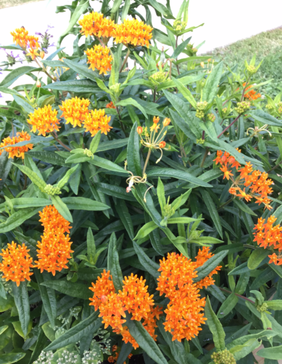 Butterfly Wee is a distinctive bright orange cluster of flowers, with some variation in flower color, from deep red-orange to yellow.