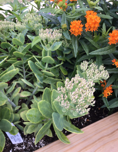 Sedum plant are star-shaped flowers that are in clusters or sprays that often change color throughout their bloom time.