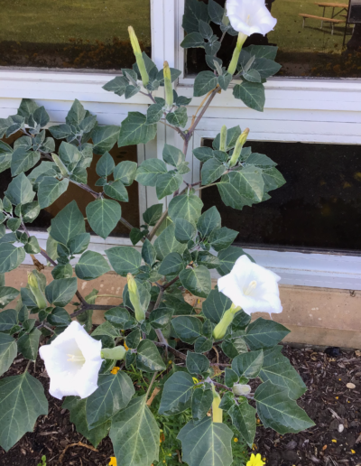 This white flower is called the Datura stramonium, known by the common names thorn apple, jimsonweed (jimson weed) or devil's snare,[2] is a plant species in the nightshade family and datura genus.