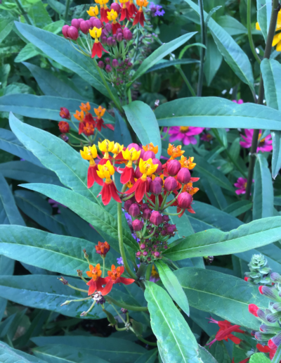 Topical milkweed has a variety of rainbow colored blooms and large, long green leaves. Attracts monarch butterflies.