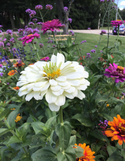 Zinnia is a genus of plants of the sunflower tribe within the daisy family have a variety of bright and bold colors.