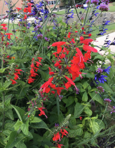 "Common name of ""scarlet sage,"" many people refer to the plants simply as ""red salvia."" They are members of the mint family."