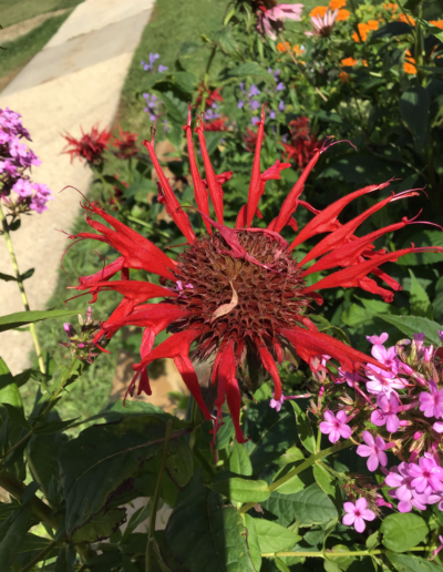 Monarda plants (Bee Balm) are very distinctive, brightly colored flower-heads that are asymmetrical