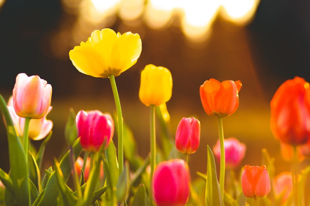 Blooming tulips in yellow, pink and orange with sunlight streaming down.