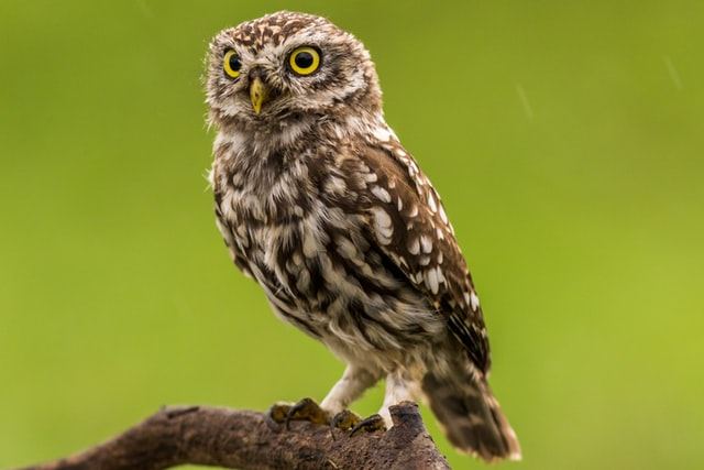 photo of a brown and white owl with yellow eyes perched on a branch with an all green background