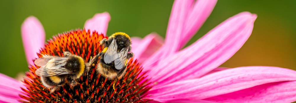 Bees on an echinacea flower.
